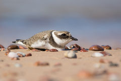 Plover hiding Royalty Free Stock Photography