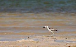 plover juvenile рака пляжа Стоковые Изображения RF