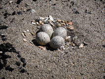 Piping Plover nest Stock Photography