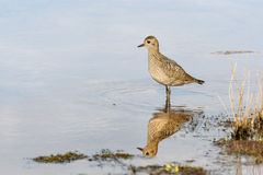 Plover on shallow Royalty Free Stock Photo