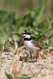 Plover small (Charadrius dubius) hunting beak sand eyes Royalty Free Stock Images