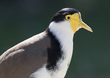 Plover Stock Photos