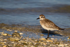 Plover Stock Photography
