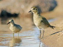 Plovers Royalty Free Stock Photography