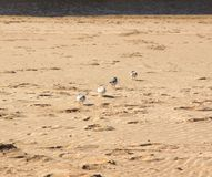 Plovers on the beach Stock Image
