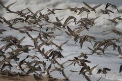 Plovers in flight 1 Stock Photo