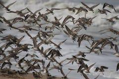 Plovers in flight 1 Stock Photo