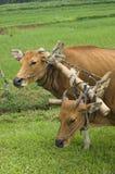 Plow Cows Stock Photos