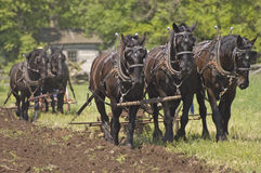 Plow Horses Team Plowing Farm Cornfield. Horses are being used to plow a farm field in preparation for planting. An old farmhouse log cabin can be seen in the royalty free stock images