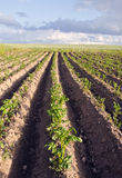 Plow potato vegetable agricultural field backdrop Stock Image