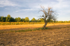 Plowed field with dead tree Royalty Free Stock Photo