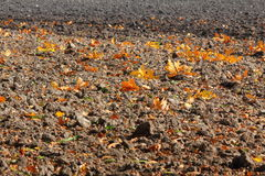 Plowed field with oak leaves. In autumn colours Stock Photo