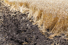 Plowed field and plantation with wheat Royalty Free Stock Photo