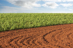 Plowed field and potato crop Stock Image