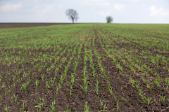 Plowed field with rows of wheat Royalty Free Stock Images