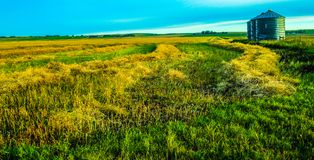 Plowed hay field and silos. Rows of grass, Rockyford County, Alberta, Canada Royalty Free Stock Photography