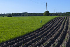 Plowed potato field and green grass. Plowed field located in Estonia. Photo taken in June stock photography