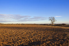 Plowed soil in autumn. A newly plowed field in golden sunlight in a yorkshire wolds landscape with an ash tree and hedgerows under a blue patterned sky in autumn Royalty Free Stock Image