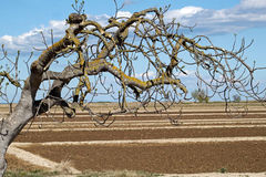 Plowed spring field and a tree Royalty Free Stock Photos