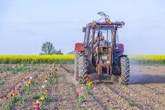 Plowes dell'agricoltore il campo del tulipano Fotografia Stock Libera da Diritti
