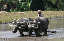 Plowing with buffalo Stock Photography