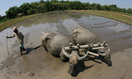Plowing with buffalo Stock Image