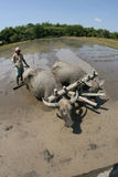 Plowing with buffalo Stock Photo