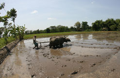 Plowing with buffalo Stock Photos