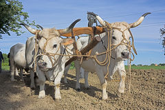 Plowing with bullocks Stock Images