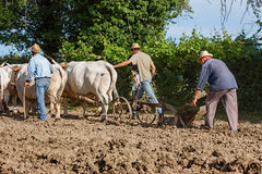 Plowing with bullocks Royalty Free Stock Image