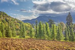 Plowing field and fir trees Royalty Free Stock Image