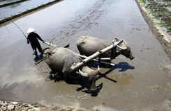 Plowing fields. KLATEN, INDONESIA - OCTOBER 12 : Traditional farmers in Klaten, Indonesia plowing their fields with the use of buffalo. In addition to low costs Royalty Free Stock Image