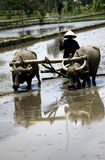 Plowing fields. KLATEN, INDONESIA - OCTOBER 12 : Traditional farmers in Klaten, Indonesia plowing their fields with the use of buffalo. In addition to low costs Stock Photo