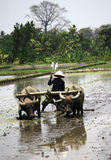 Plowing fields. KLATEN, INDONESIA - OCTOBER 12 : Traditional farmers in Klaten, Indonesia plowing their fields with the use of buffalo. In addition to low costs Royalty Free Stock Images