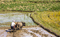 Plowing with oxen Royalty Free Stock Images
