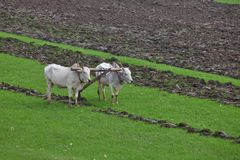 Plowing rice field Stock Images