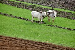 Plowing rice field Stock Photo