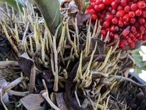 Plowmanii del Anthurium o semillas rojas del Anthurium imágenes de archivo libres de regalías