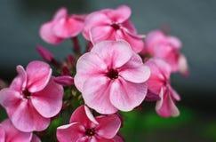 Plox rosado Fotos de archivo