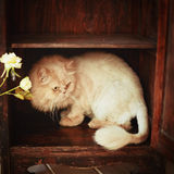 Päls- röd katt som vilar på hyllan Royaltyfria Bilder
