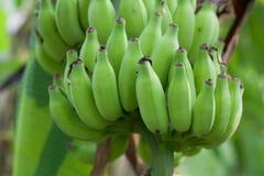 Plátanos verdes Imágenes de archivo libres de regalías