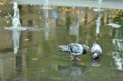 Plätschernde Tauben Stockfoto