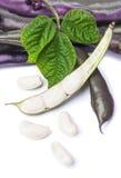 Plötsliga bönor för lilavax Arkivfoto