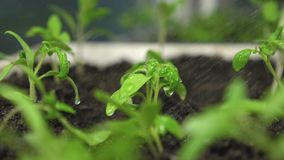 Plu?ni?cia wodna komarnica zieleni kr?tkop?dy swobodny ruch rozsady w szklarnianym podlewaniu ogrodniczka Poj?cie zbiory wideo