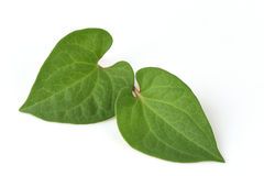 Plu Kaow red (thai name) (Houttuynia cordata Thunb.) Anti-cancer herbs. Plu Kaow red (thai name) (Houttuynia cordata Thunb.), Vegetables, plants, herbs with Stock Image