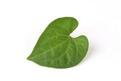Plu Kaow red (thai name) (Houttuynia cordata Thunb.) Anti-cancer herbs. Royalty Free Stock Images