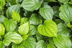 Plu leaves thai name ,Material. Thai medicinal plants.(Piper sarmentosum Roxb.) Royalty Free Stock Image