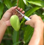 Pluck mangoes on tree Royalty Free Stock Photos