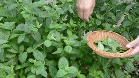 Pluck mint fresh medical herbs in garden stock video