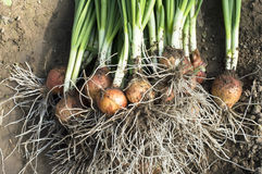 Plucked green onions in soil Royalty Free Stock Image